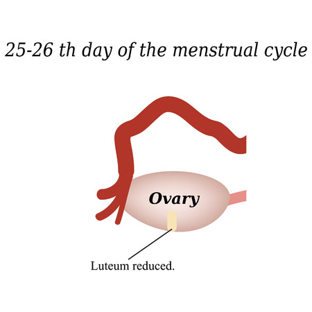 menstrual: 25-26 days of the menstrual cycle - reducing the corpus luteum. Vector illustration on isolated background.