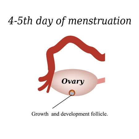 follicle: 4-5 d�as de la menstruaci�n - el crecimiento y desarrollo del fol�culo ov�rico. Ilustraci�n del vector en el fondo aislado. Vectores
