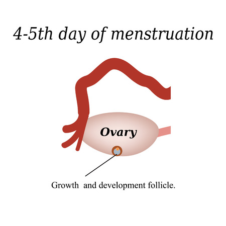 ovarian: 4-5 day of menstruation - the growth and development of the ovarian follicle. Vector illustration on isolated background.