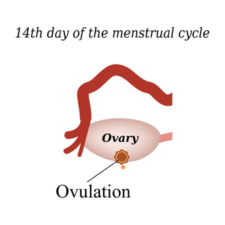 rupture: 14 day of  the menstrual cycle - ovulation. Vector illustration on isolated background. Illustration