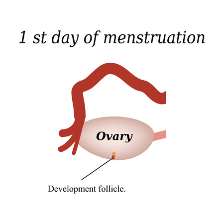 ovaries: The first day of menstruation - the development of follicles in the ovaries. Vector illustration on isolated background.