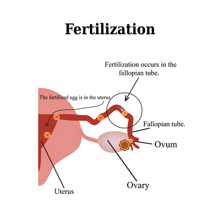 Fertilization. Vector illustration isolated on a white background.