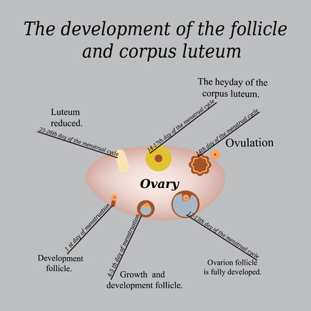 ovarian: It shows the development of ovarian follicle and corpus luteum. Vector illustration on a gray background. Illustration