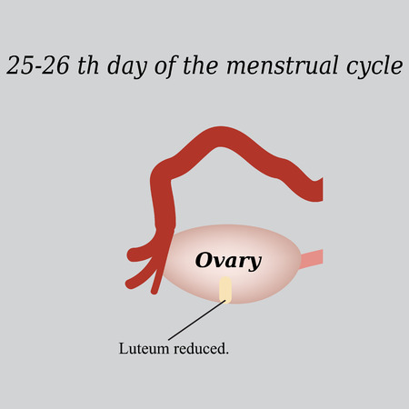 ovarian: 25-26 days of the menstrual cycle - reducing the corpus luteum. Vector illustration on a gray background. Illustration