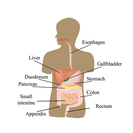 duodenum: The structure of the gastrointestinal tract. Human anatomy. Vector illustration on isolated background.