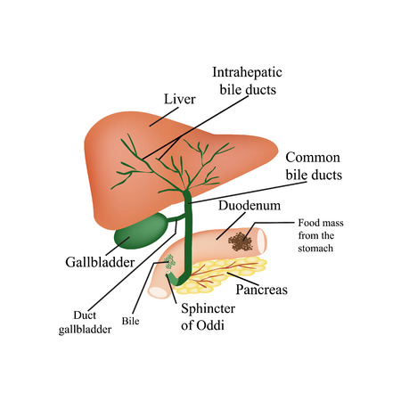 cystic duct: The anatomical structure of the liver, gallbladder, bile ducts and pancreas. Vector illustration on isolated background. Illustration
