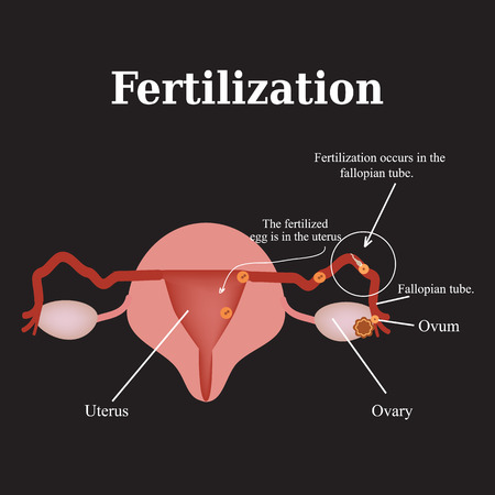 morula: Diagram of the structure of the pelvic organs. Fertilization. Vector illustration on a black background.