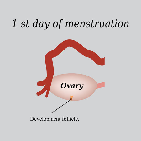 ovaries: The first day of menstruation - the development of follicles in the ovaries. Vector illustration on a gray background. Illustration