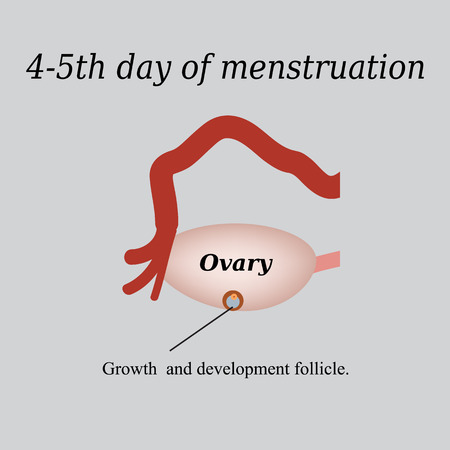 ovarian: 4-5 day of menstruation - the growth and development of the ovarian follicle. Vector illustration on a gray background.