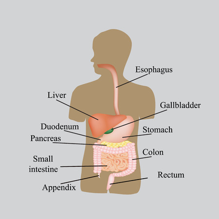 oesophagus: The structure of the gastrointestinal tract. Human anatomy. Vector illustration on a gray background.