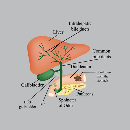 bile: The anatomical structure of the liver, gallbladder, bile ducts and pancreas. Vector illustration on a gray background.