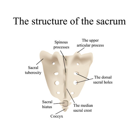The structure of the aitch bone. Vector illustration on isolated background.