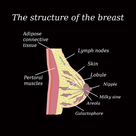 nude female: The anatomical structure of the breast. Mammary gland.