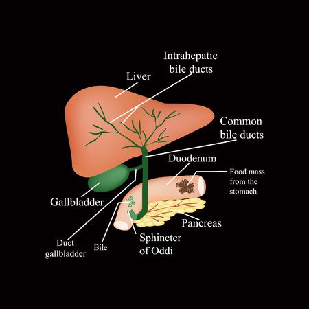 The anatomical structure of the liver, gallbladder, bile ducts and pancreas. Vector illustration on a black background.