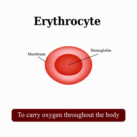 hematology: The structure of the red blood cell. Erythrocyte. Vector illustration. Illustration