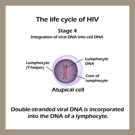 macrophage: The life cycle of HIV. Stage 4 - The double-stranded viral DNA is incorporated into the DNA of a lymphocyte. World AIDS Day. Vector illustration. Illustration