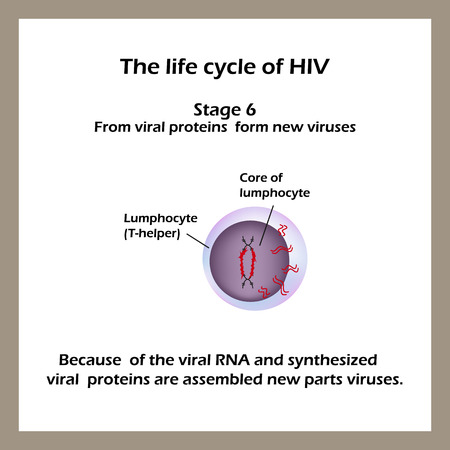 macrophage: The life cycle of HIV. Stage 6 - Of the viral RNA and viral proteins synthesized new parts are assembled virus.  World AIDS Day. Vector illustration.