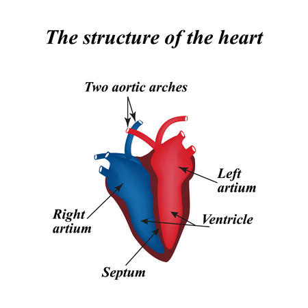 right ventricle: The structure of the heart. Info graphics. Illustration