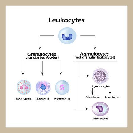 Soorten witte bloedcellen. Infographics. Vector illustratie een geïsoleerde achtergrond. Vector Illustratie