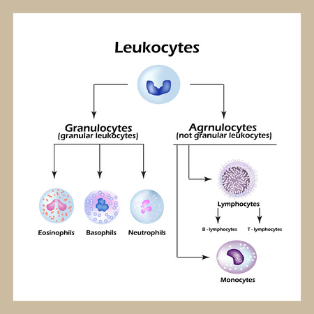 Tipos de células blancas de la sangre. Infografía. Ilustración vectorial de un fondo aislado. Ilustración de vector
