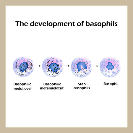 basophil: Development of basophils. Infographics.  Vector illustration an isolated background.