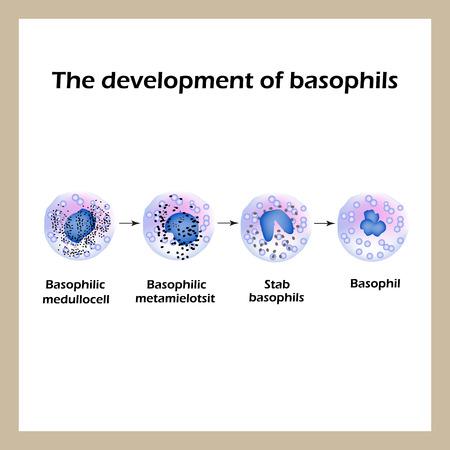 Development of basophils. Infographics. Vector illustration an isolated background.