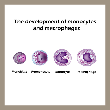 b cell: The development of monocytes and macrophages. Infographics. Vector illustration.