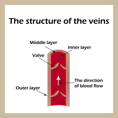 heart valves: The structure of the veins. Infographics. Vector illustration an isolated background.