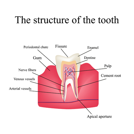 incisor: The anatomical structure of the tooth on an isolated background. Infographics.
