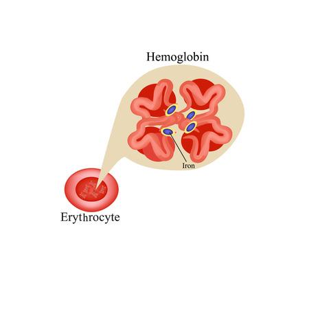 globulo rojo: La hemoglobina dentro de los glóbulos rojos. Infografía. Ilustración vectorial sobre fondo aislado. Vectores