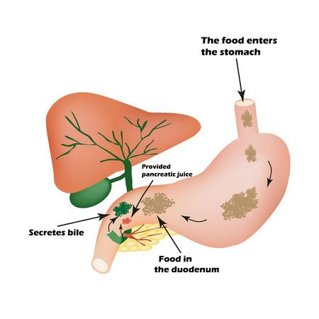 Digestive organs. Digestive apparatus. Bile to digest food. Isolation of pancreatic juice for pirevarivaniya food. Infographics. illustration on isolated background.