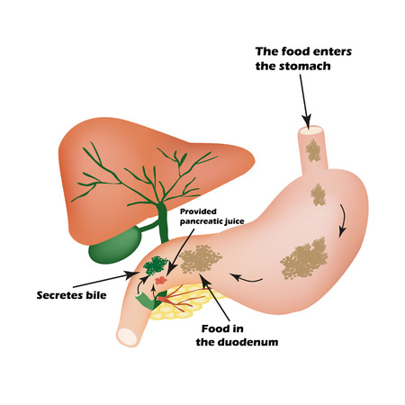 bile: Digestive organs. Digestive apparatus. Bile to digest food. Isolation of pancreatic juice for pirevarivaniya food. Infographics. illustration on isolated background.