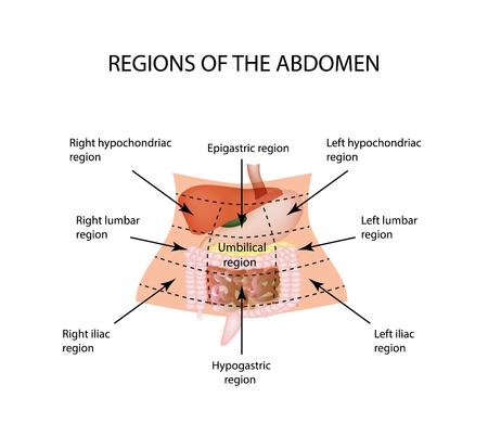 Regione addominale. Il fegato, cistifellea, pancreas, stomaco, duodeno, intestino tenue, intestino tenue, intestino crasso, colon, retto, apendiks, cieco. illustrazione su sfondo isolato.