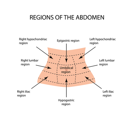 Abdominal Region. illustration on isolated background. Illustration