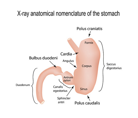 X-ray range of the stomach. illustration on isolated background. Illustration