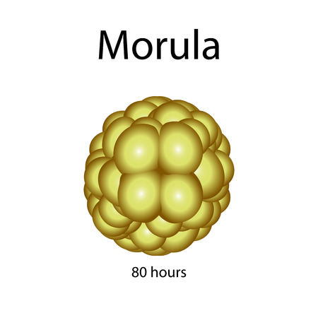 embryonic development: Human morula. Vector illustration on isolated background.