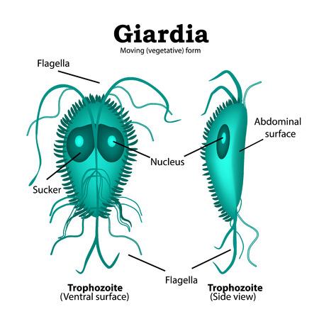 flagella: The structure of Giardia. illustration on isolated background.