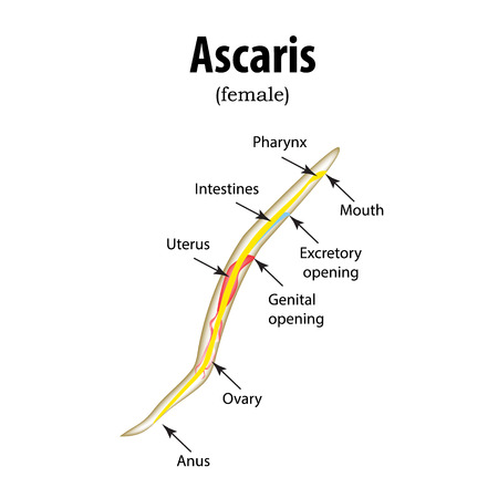 ascaris: The structure of the roundworm. Ascaris.  illustration on isolated background.