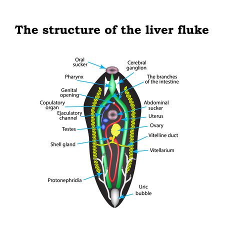 La estructura de la fasciola hepática. Infografía. la ilustración en el fondo aislado. Ilustración de vector
