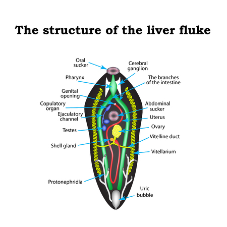 liver cells: The structure of the liver fluke. Infographics. illustration on isolated background. Illustration