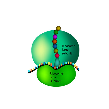 The structure of the ribosome Infographics. illustration on isolated background