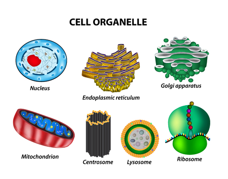 microscopic cellular structure: Set the cell organelles. Illustration