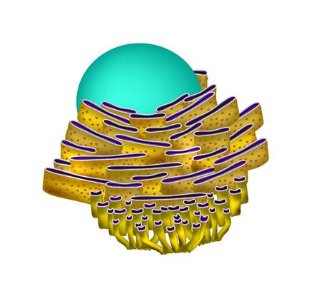 Endoplasmic reticulum structure. Infographics.