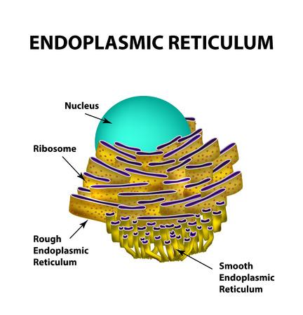 endoplasmic: Endoplasmic reticulum structure. Infographics.