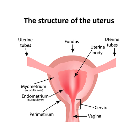 myometrium: The structure of the uterus. The endometrium, myometrium, the fallopian tubes. Infographics. illustration on isolated background. Illustration