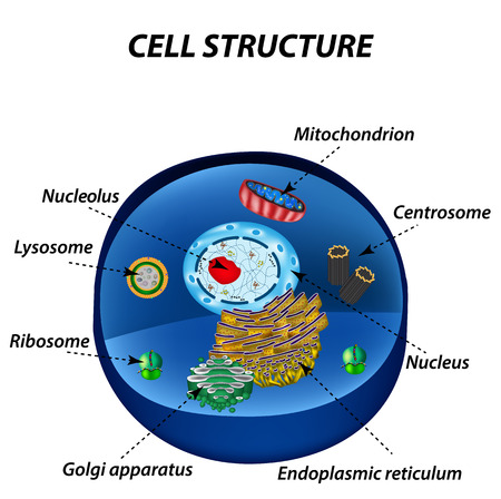 Structure of human cells. Organelles. The core nucleus, endoplasmic reticulum, Golgi apparatus, lysosomes, ribosomes, mitochondria centriole Vector illustration Illustration