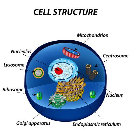 ribosomes: Structure of human cells. Organelles. The core nucleus, endoplasmic reticulum, Golgi apparatus, lysosomes, ribosomes, mitochondria centriole Vector illustration Illustration