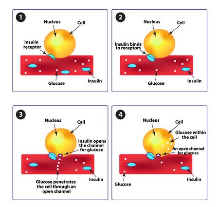 De absorptie van glucose door de cellen. Diabetes. Verhogen en de bloedsuikerspiegel te verlagen. Insuline. Infographics. Vector illustratie op geïsoleerde achtergrond.