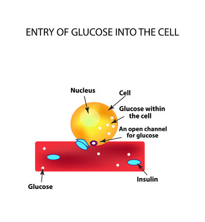 blood sugar: The absorption of glucose by the cell. Increase and decrease blood sugar. Insulin. Infographics. Vector illustration on isolated background.