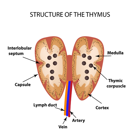 thymus: Structure of the thymus. The thymus gland. Infographics Vector illustration